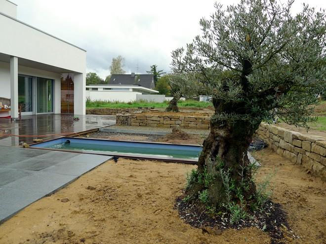 Olivenb ume tipps beispiele zur verwendung im garten for Gartengestaltung olivenbaum